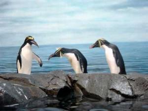 penguins-0112wp