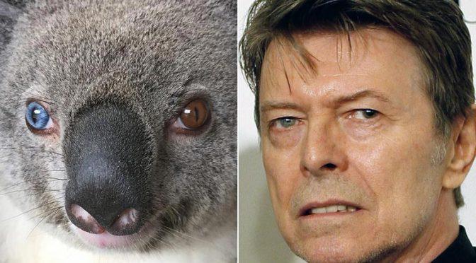 オーストラリア ライフスタイル&ビジネス研究所:左右の瞳の色が異なるコアラ「ボウイ」と命名