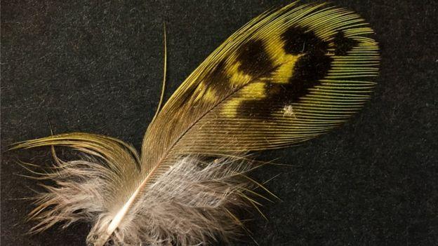 オーストラリア ライフスタイル&ビジネス研究所:サウスオーストラリア州でヒメフクロウインコの羽根発見
