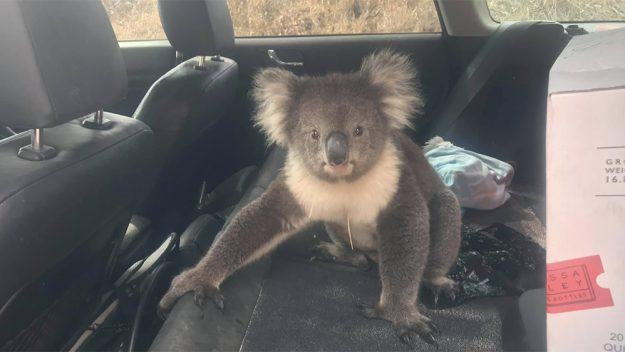 オーストラリア ライフスタイル&ビジネス研究所:エアコンの効いた車中で残暑をしのぐコアラ
