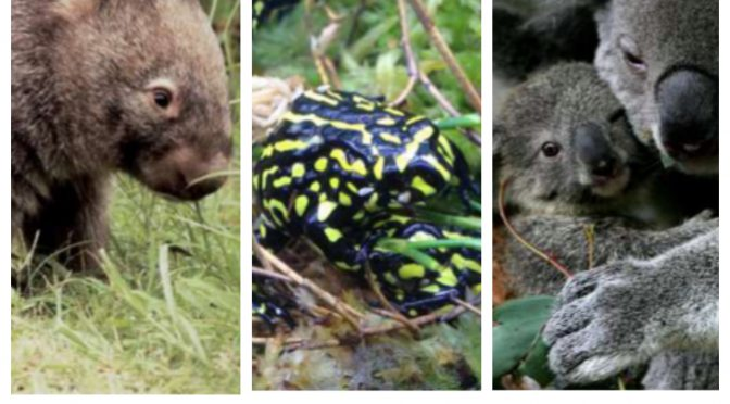 オーストラリア ライフスタイル&ビジネス研究所:ピカチュウそっくりの珍獣も、絶滅が近い生物34種(キタケバナウォンバット、コアラ、コロボリーガエル)