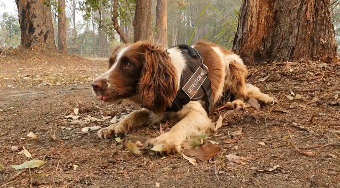 オーストラリア ライフスタイル&ビジネス研究所:活躍するコアラ捜索犬 テイラー
