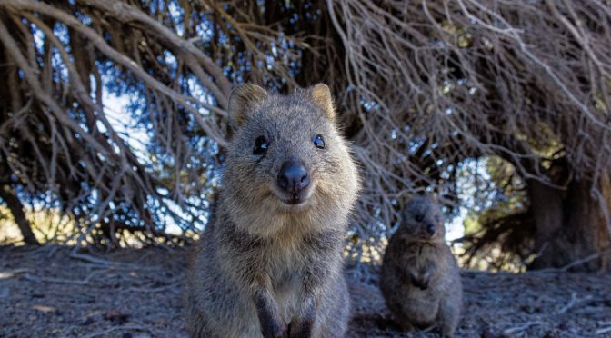 オーストラリア ライフスタイル&ビジネス研究所:かわいい動物の動画、ストレスや不安を軽減か。西オーストラリア州観光当局、リーズ大学と研究