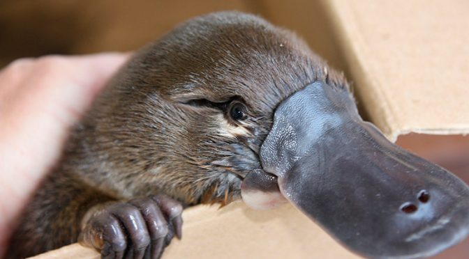 オーストラリア ライフスタイル&ビジネス研究所:カモノハシ絶滅の恐れ、ニューサウスウェールズ大学が連邦政府に監視強化を要請