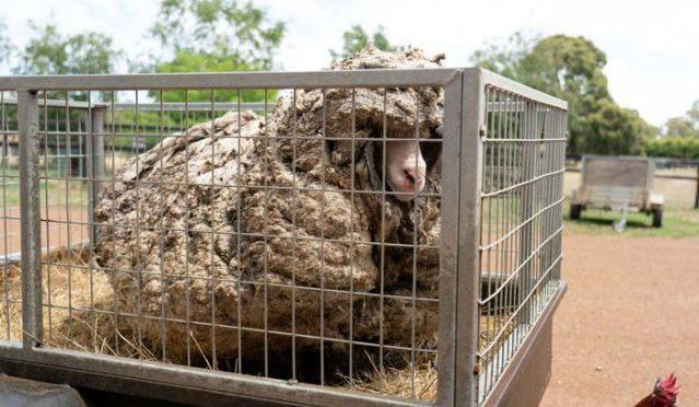 オーストラリア ライフスタイル&ビジネス研究所:毛伸び放題のヒツジ救出、30kg超刈り取る