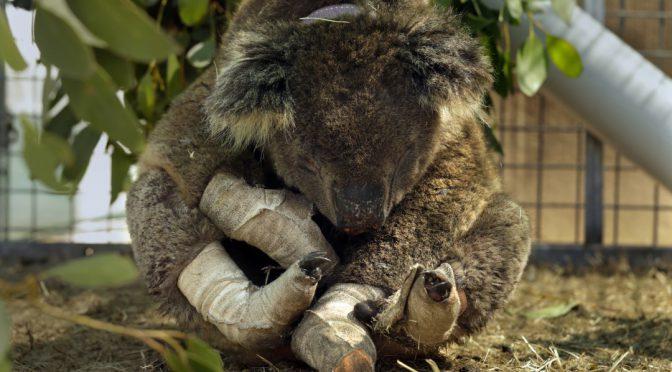 オーストラリア ライフスタイル&ビジネス研究所:カンガルー島でコアラに新たな命。火災後、絶滅回避取組み