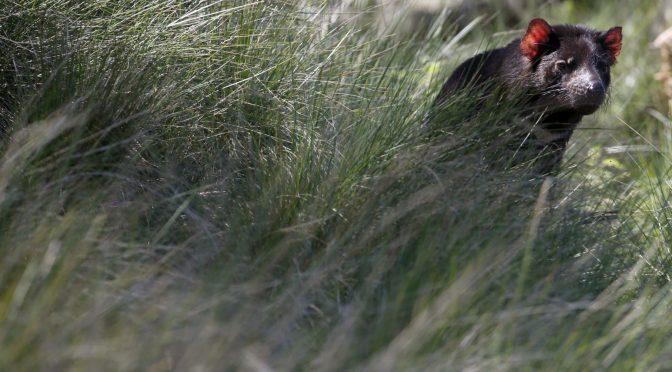 オーストラリア ライフスタイル&ビジネス研究所:本土でタスマニアデビル自然繁殖、3,000年ぶり