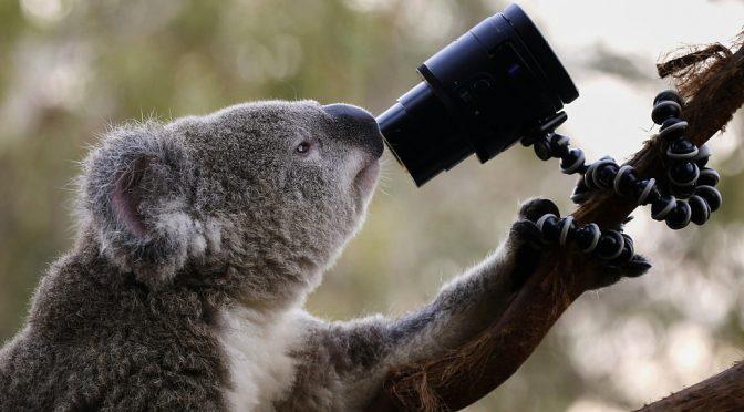 オーストラリア ライフスタイル&ビジネス研究所:コアラ「顔認証」研究へ。個体識別強化、交通事故減らす