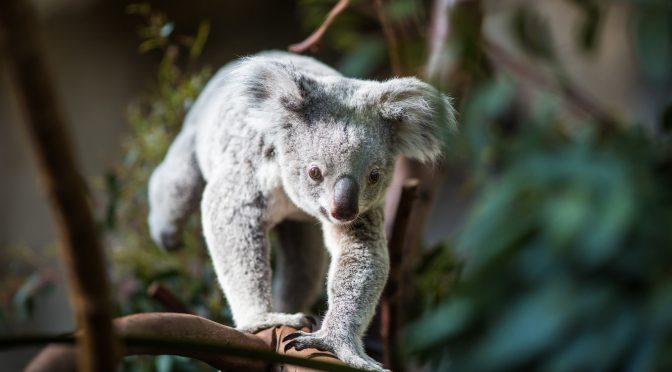 オーストラリア ライフスタイル&ビジネス研究所:コアラの生息、3年で3割減。最少3万匹強に