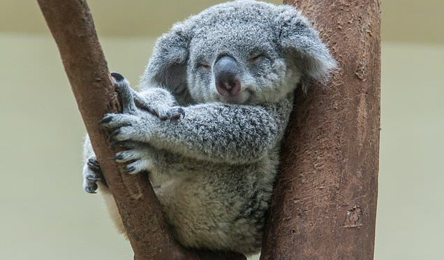 オーストラリア ライフスタイル&ビジネス研究所:コアラにまん延する性感染症クラミジア、予防接種開始